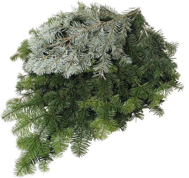 Silver Fir Boughs