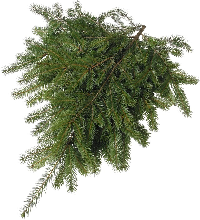 Douglas Fir Boughs