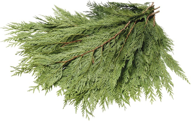 Western Red Cedar Boughs