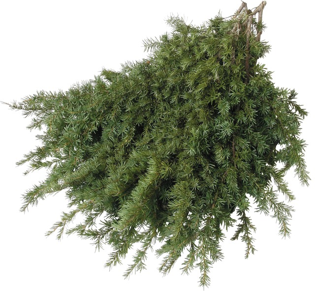 Mountain Hemlock Boughs
