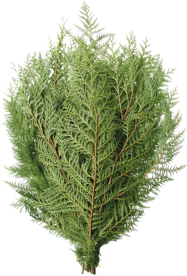 Pt. Orford Cedar Boughs